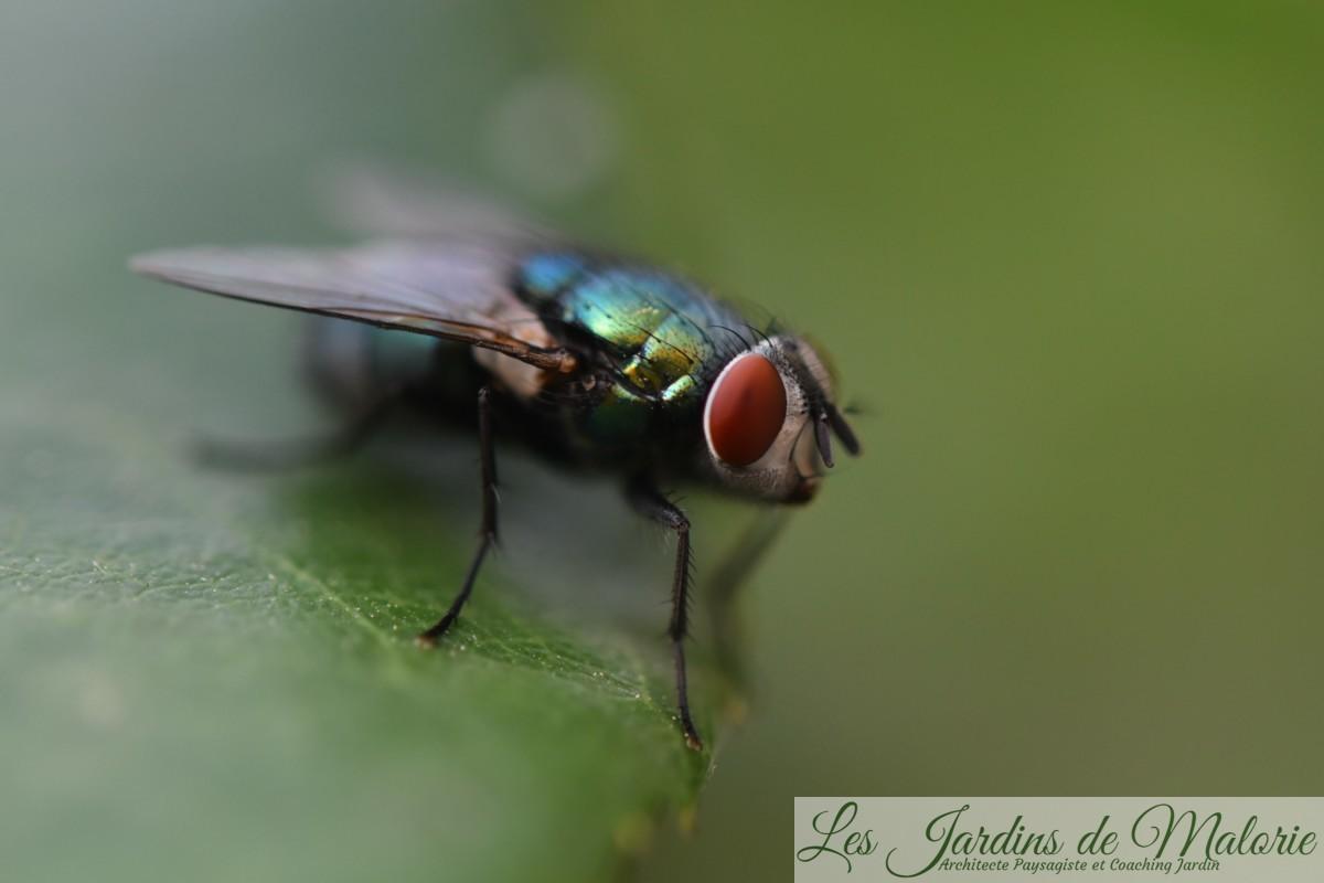 Une grosse mouche verte, la lucilie soyeuse, Lucilia sericata