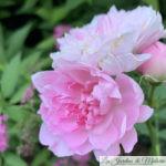 ❤ ❤ ❤ Focus sur le rosier 'Sir Walter Scott'