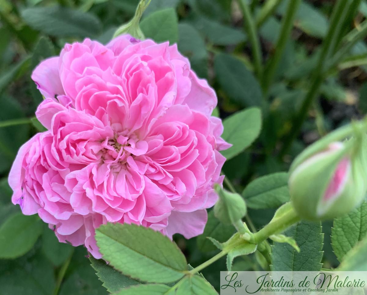 rosier 'Sir Walter Scott'
