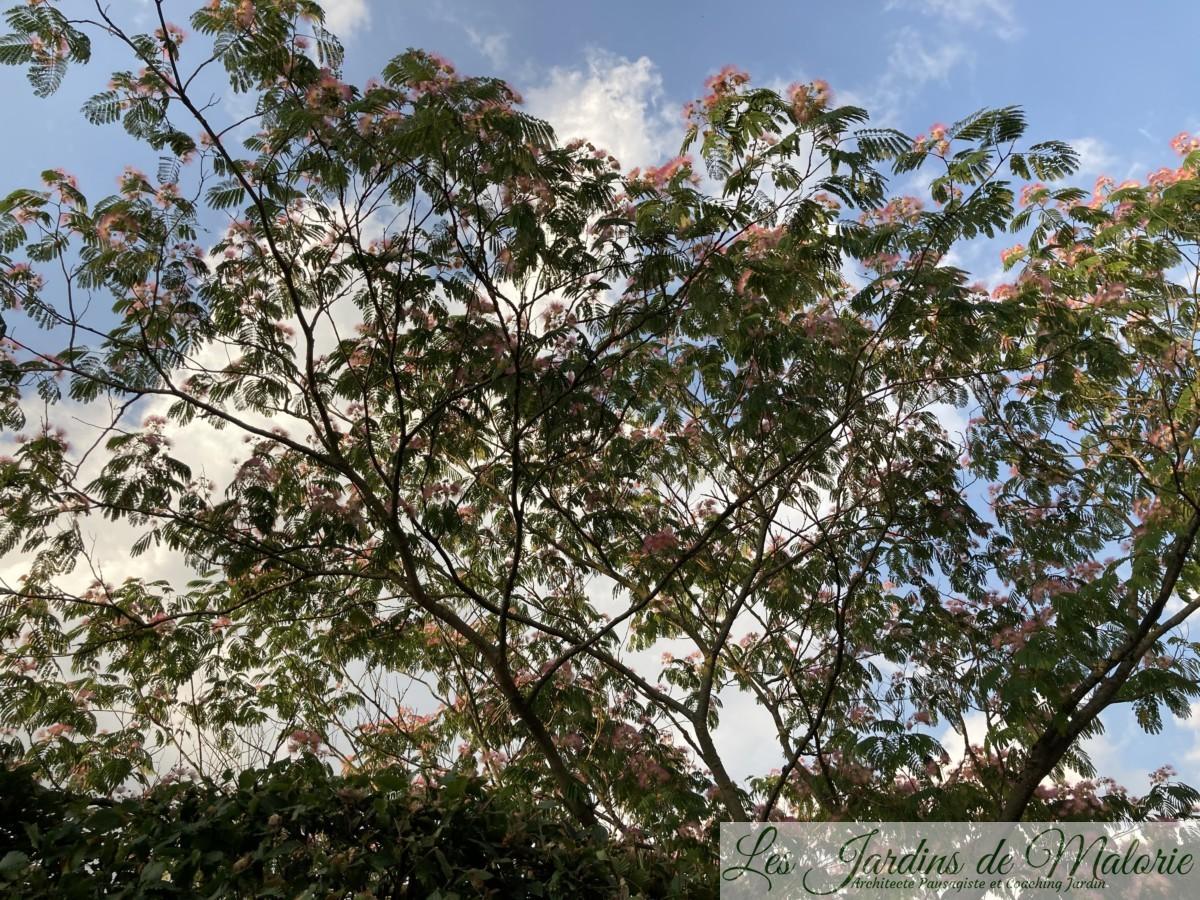 albizia julibrissin, Arbre à soie