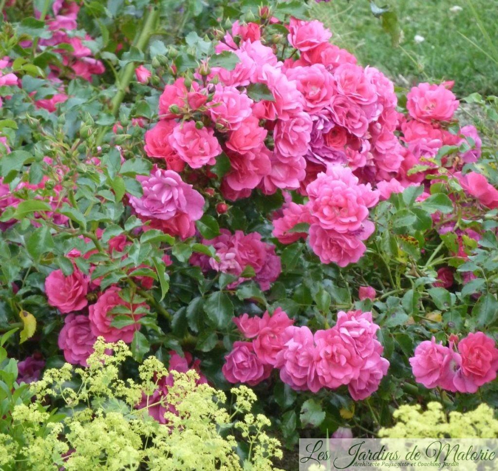 rosier 'Emera'
