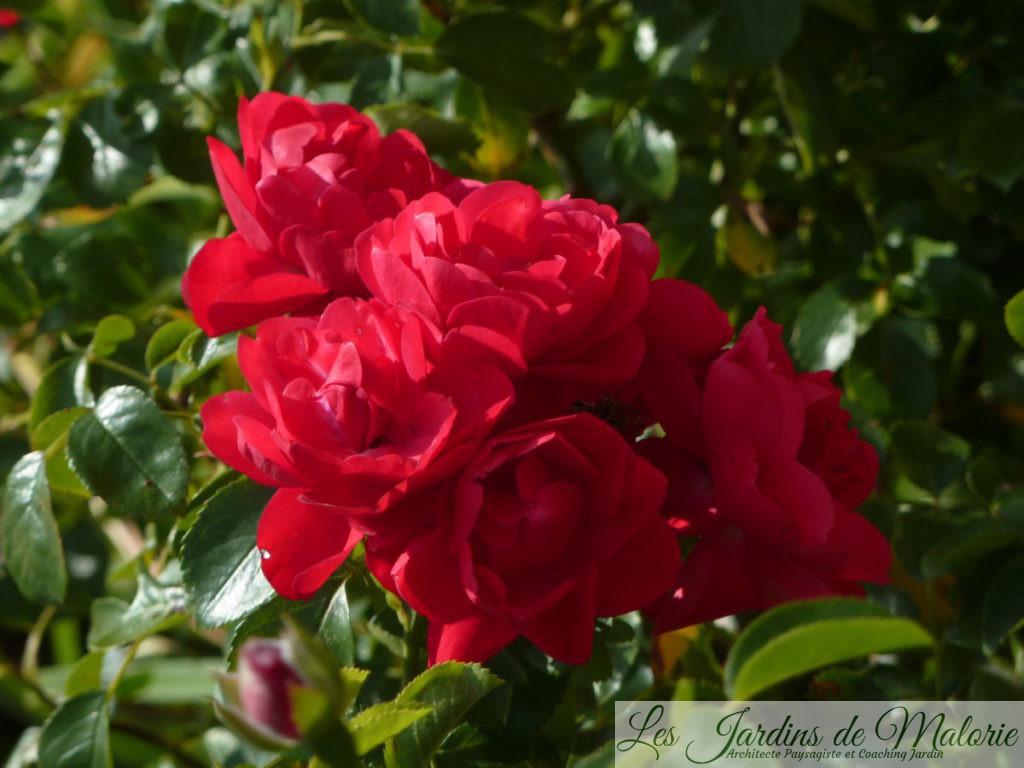 rosier 'Kadora'