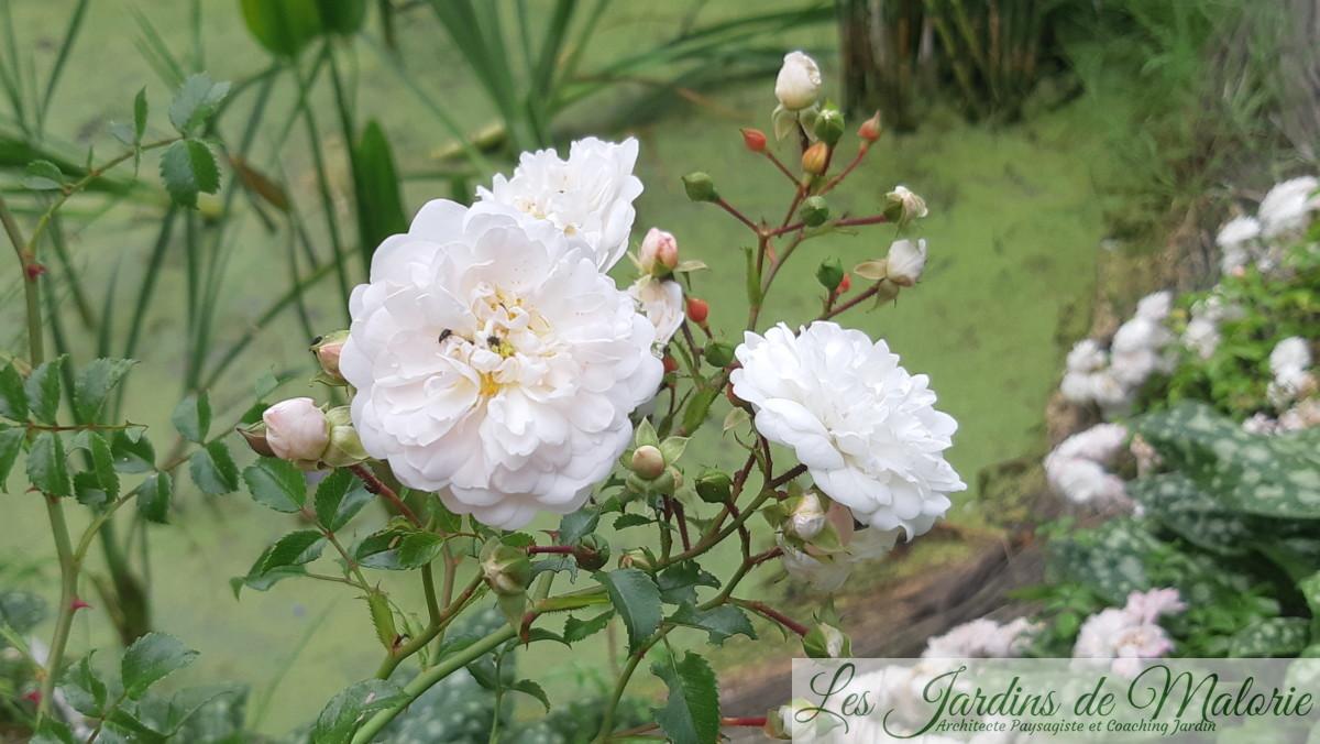 rosier liane Souvenir d'Angélique (syn. Fifi sur la Volière)