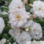 ❤ ❤ ❤  Focus sur le rosier 'Souvenir d'Angélique' (syn. 'Fifi sur la Volière')