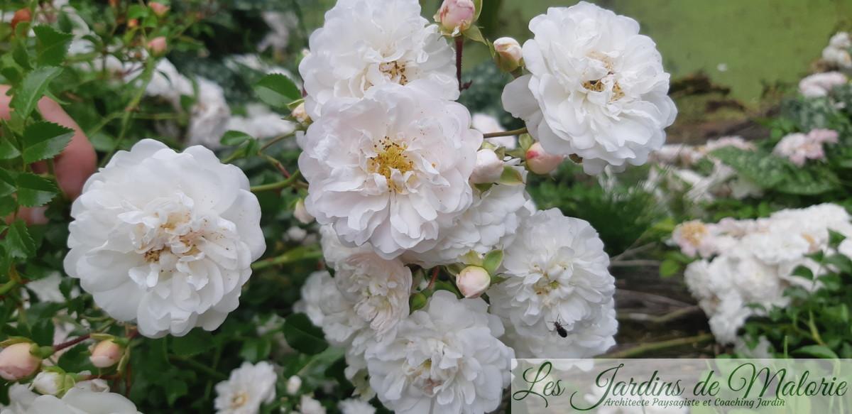 rosier liane 'Souvenir d'Angélique' (syn. 'Fifi sur la Volière')