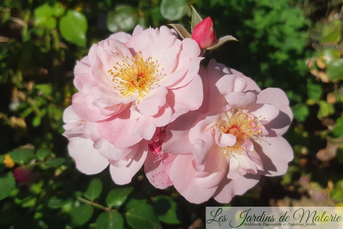 rosier 'Les Yeux d'Elsa' (Obtenteur : Jean Lin Lebrun – Melarosa)