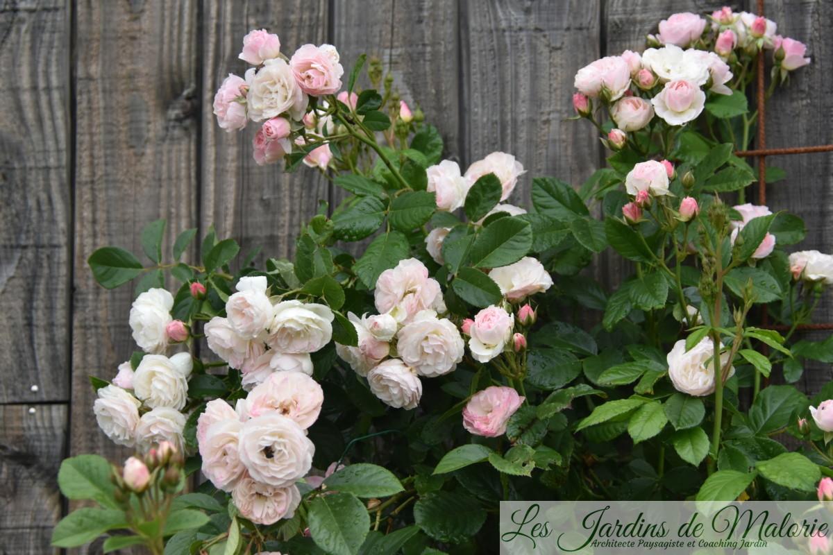 rosier 'Bouquet parfait'