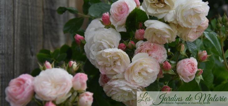❤ ❤  Focus sur le rosier 'Bouquet Parfait'