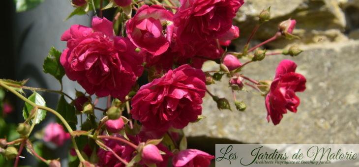 ❤ ❤  Focus sur le rosier 'Super Excelsa'