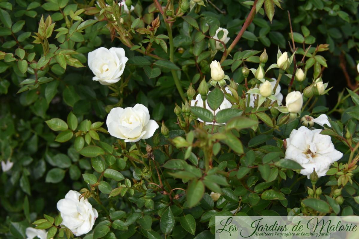 rosier 'Kent' (syn 'White Cover') Poulsen