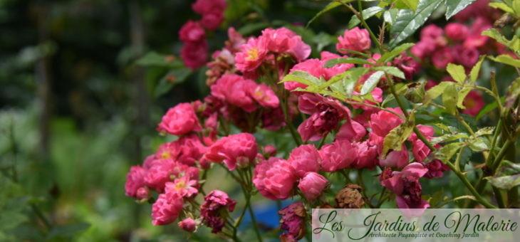 Focus sur le rosier 'Brewood Belle'