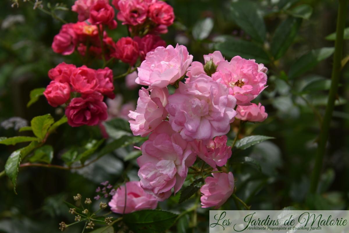 rosier grimpant rose vif 'Brewood Belle', de Scarman, et rosier 'Pois de senteur' de Jean-Lin Lebrun