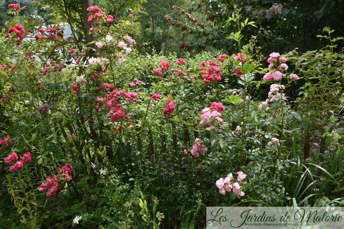 rosier grimpant rose vif 'Brewood Belle', de Scarman, et 'Pois de senteur' de Jean-Lin Lebrun