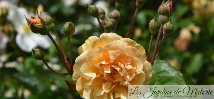 ❤ ❤ Focus sur le rosier 'Buff Beauty'