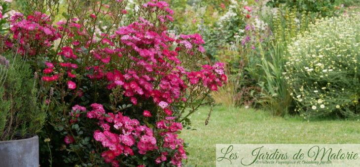 ❤ ❤ ❤ Focus sur le rosier 'Lupo'