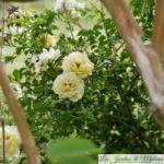 ❤ ❤ ❤ Focus sur le rosier 'Sunny rose'