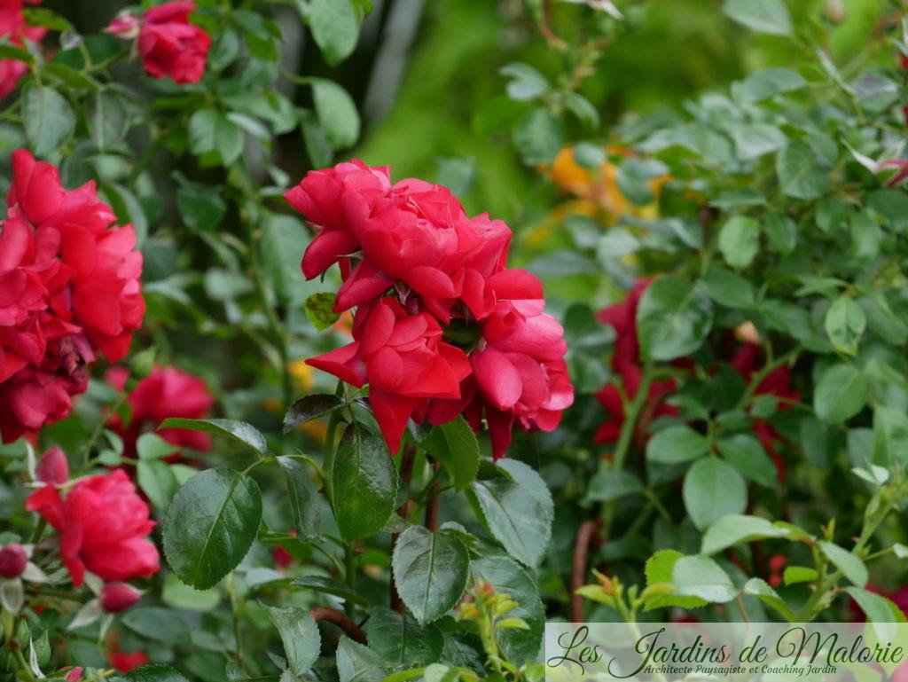 rosier 'Kadora' (
