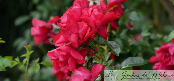 ❤ ❤  Focus sur le rosier 'Kadora'