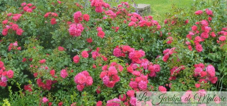 ❤ Focus sur le rosier 'Emera'