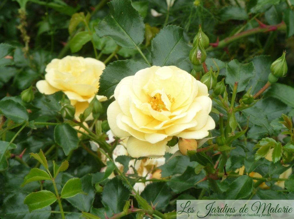 rosier 'Sunny Rose'