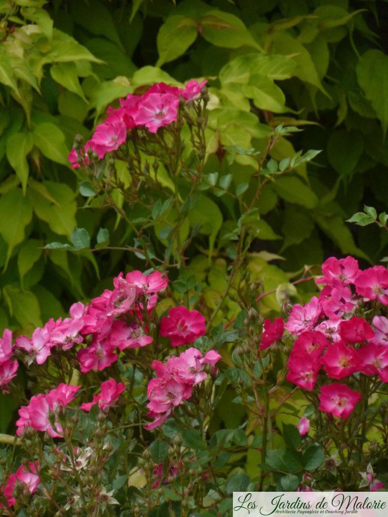 rosier 'Lupo'