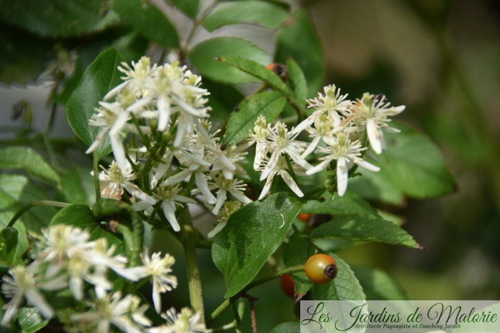 clématis paniculata