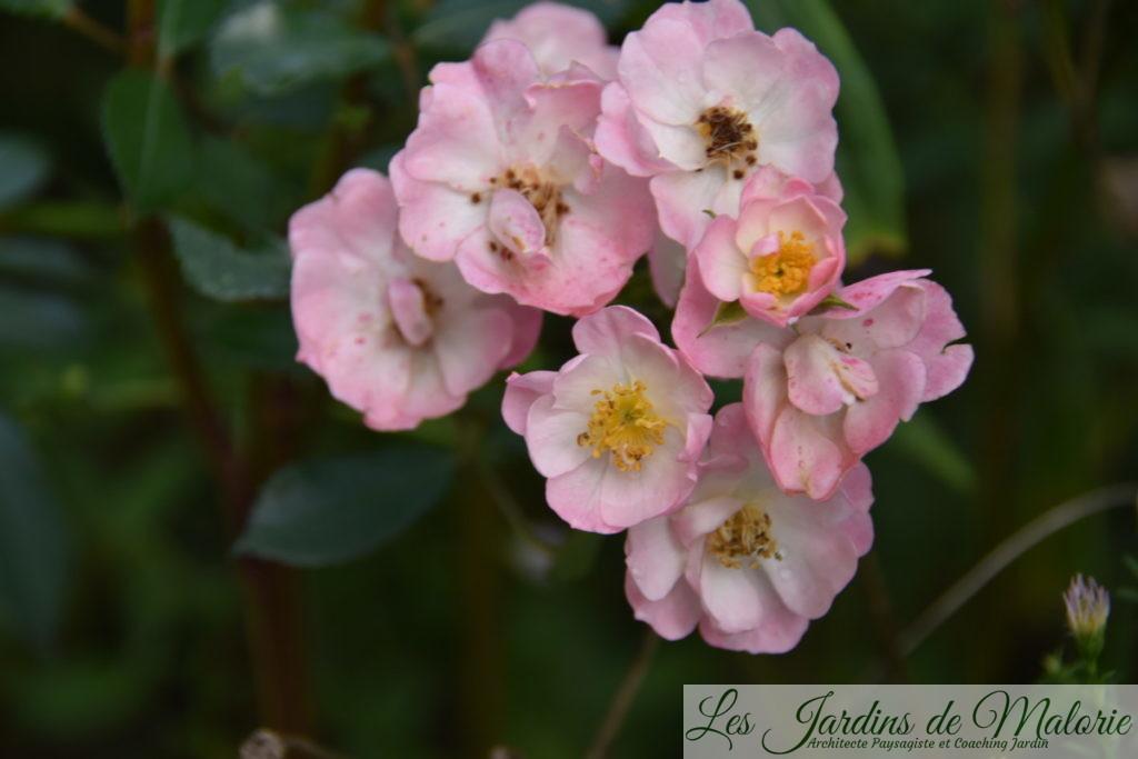 rosier 'Castor'