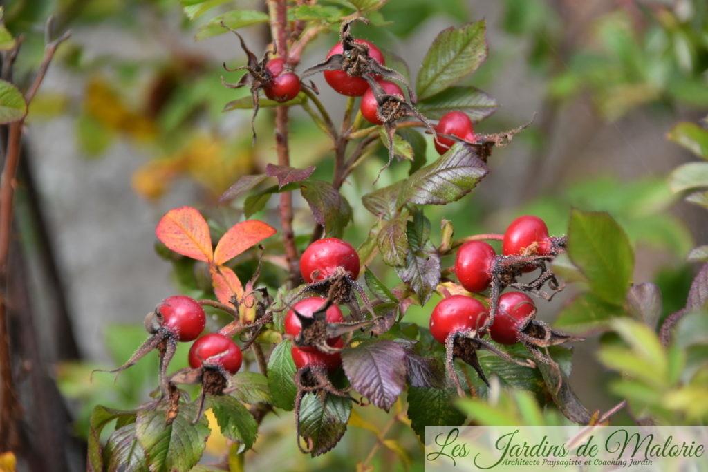 cynorrhodons du rosier 'Ann Endt'