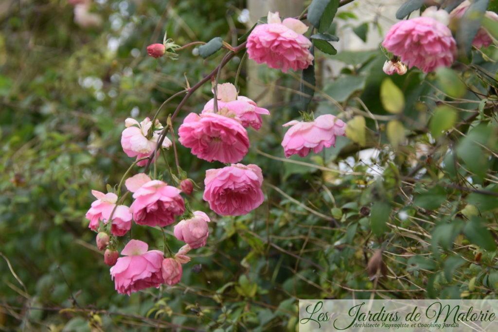 rosier 'Belle de Sardaigne'