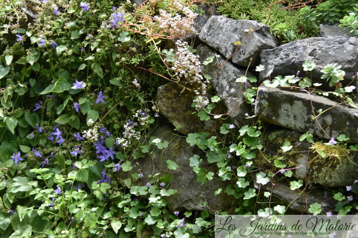 campanules des murs et cymbalaire des murailles
