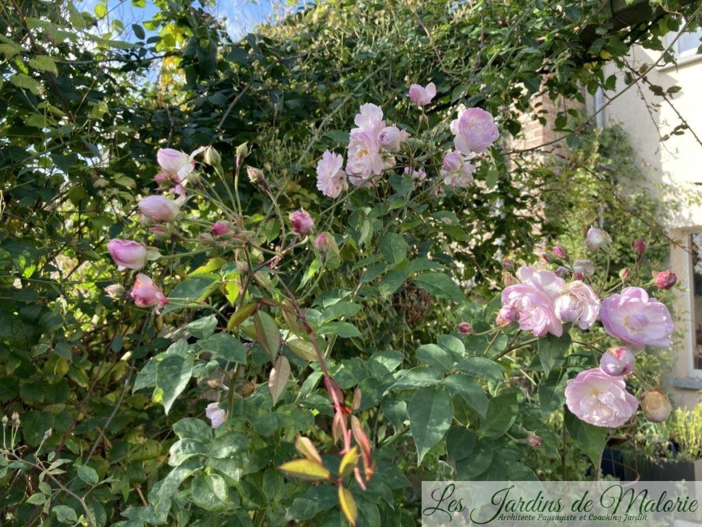 rosier 'Blush Noisette'