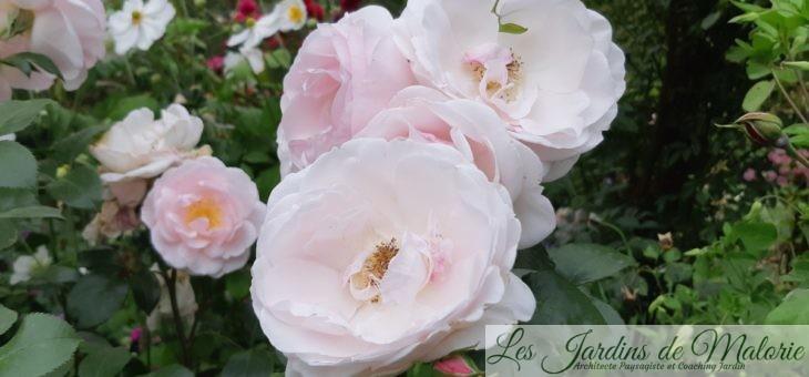 ❤ ❤ Focus sur le rosier 'Jardin de Granville'