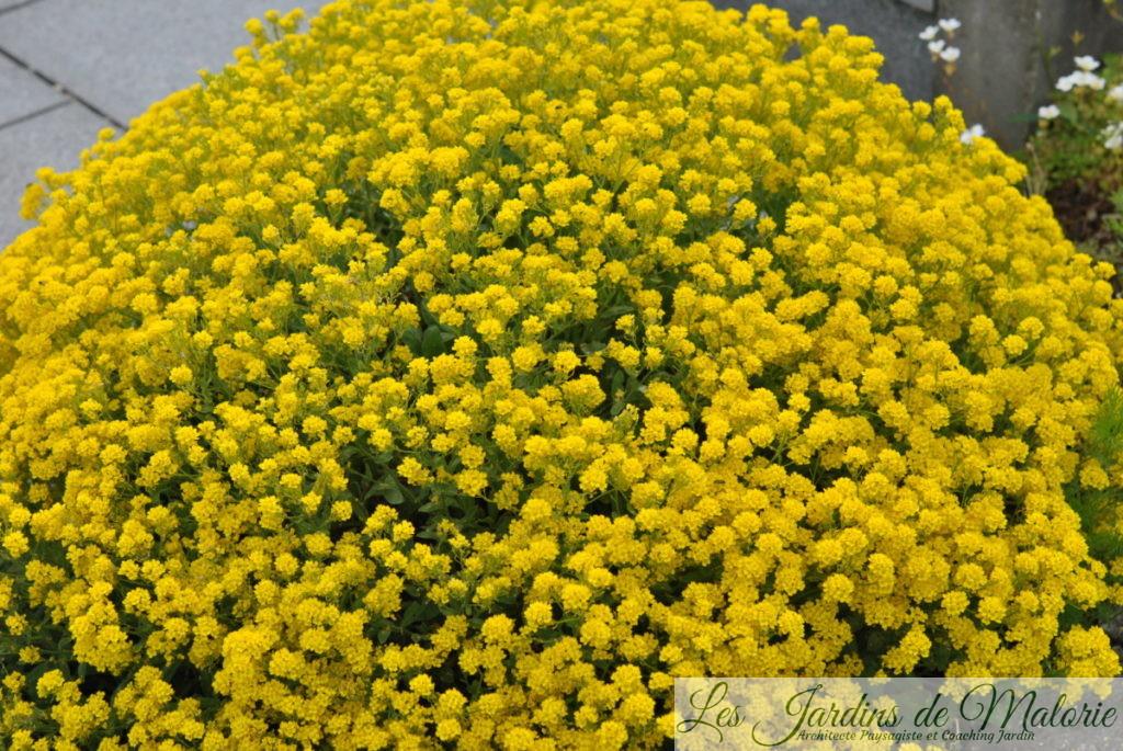 Alyssum saxatile - Corbeille d'Or à fleurs jaunes