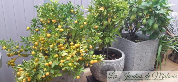 Citronnier, oranger, mandarinier… Les cultiver en pot.