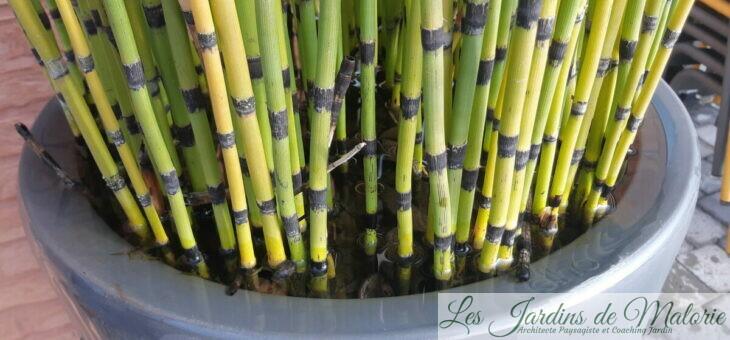 Plantes graphiques : les Prêles du Japon plantées en pot