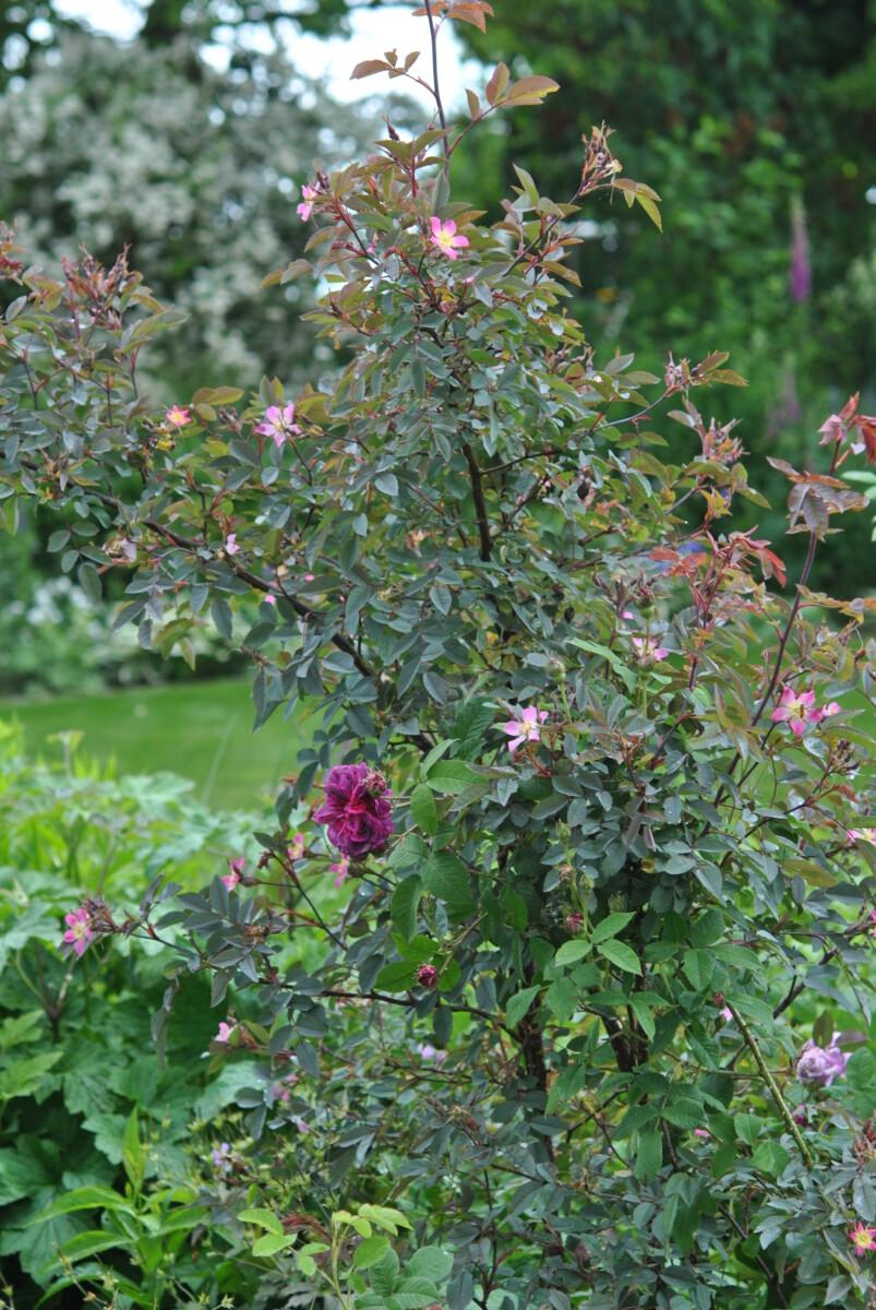 rosa glauca (rosa rubrifolia)
