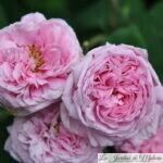 ❤ ❤  Focus sur le rosier ancien 'Comte de Chambord' ('Mme Boll')
