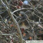 🐦 Oiseaux du jardin : la grive litorne