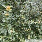 Les épines de l'Epine-vinette (Berberis julianae)