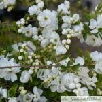 Le Buisson de perles (Exochorda)