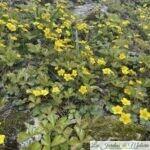 Waldsteinia ternata, fraisier stérile