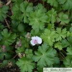 🌺 Géranium cantabrigiense