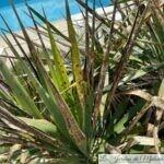 Yucca malade: le phoma du Yucca