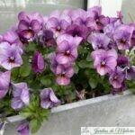 Douces pensées... Viola cornuta