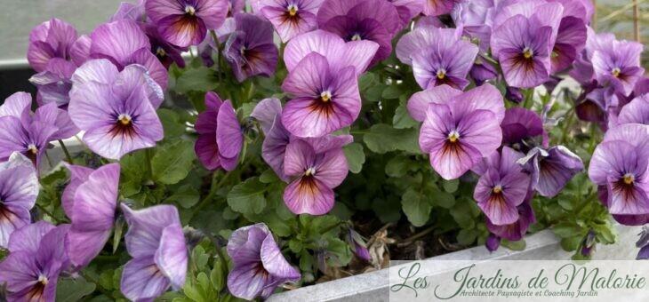 Douces pensées… Viola cornuta