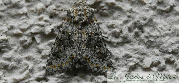 🦋 Papillon  : noctuelle dysodée