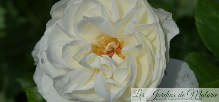 ❤ ❤ ❤ Focus sur le rosier Azay le Rideau