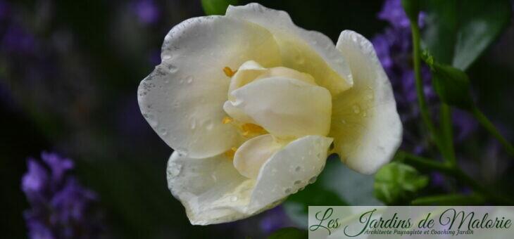❤ ❤ Focus sur le rosier Romain Rolland