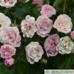 ❤ ❤ ❤ Focus sur le rosier 'Frau Eva Shubert'