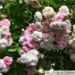 ❤ Focus sur le rosier 'Pink Ghislaine de Féligonde'